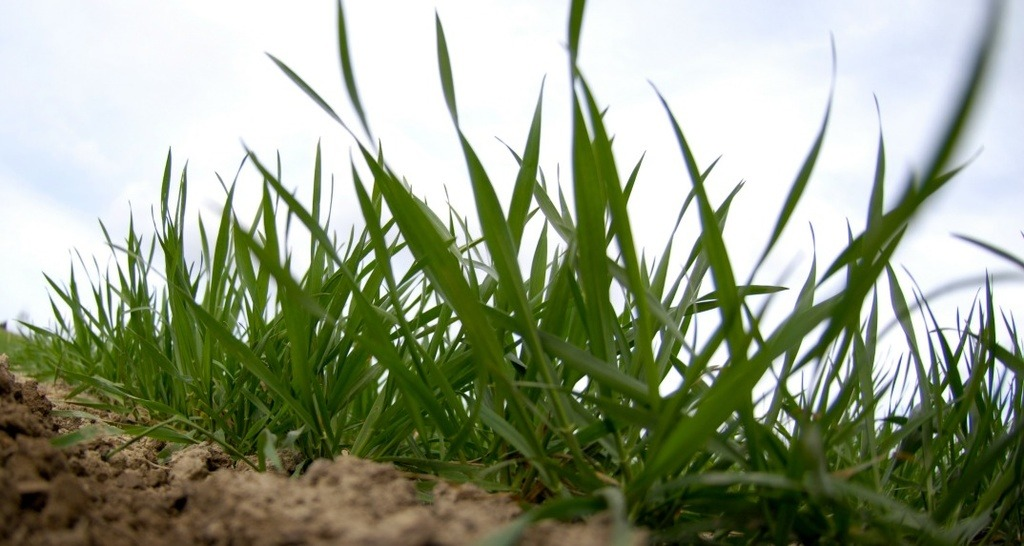 Winter Wheat at T0