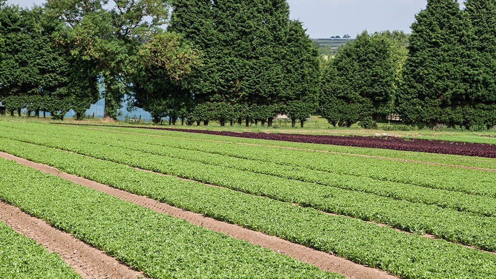 Babyleaf field production