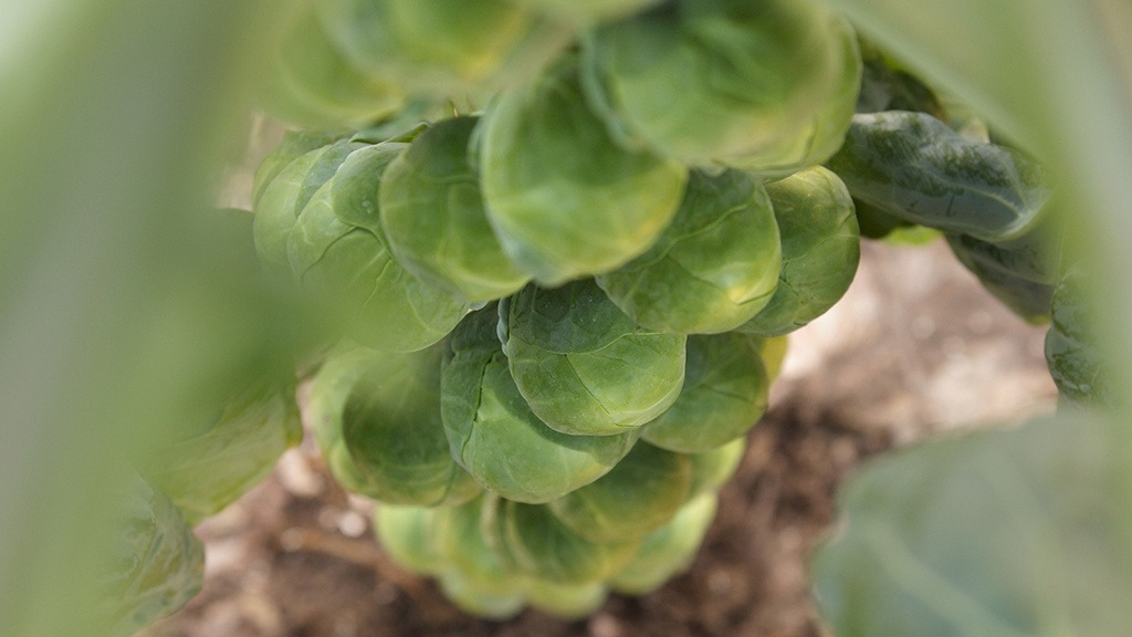 Brussels sprout buttons