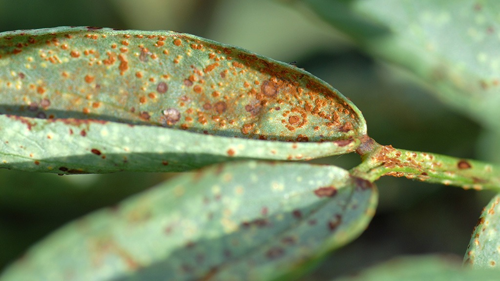 Rust on beans