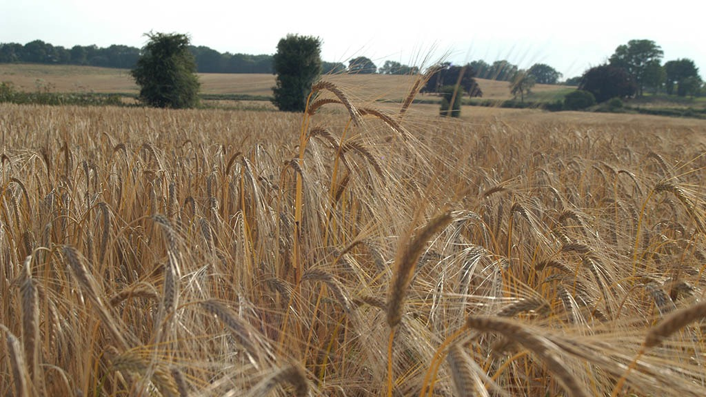 Keeping barley standing through to harvest