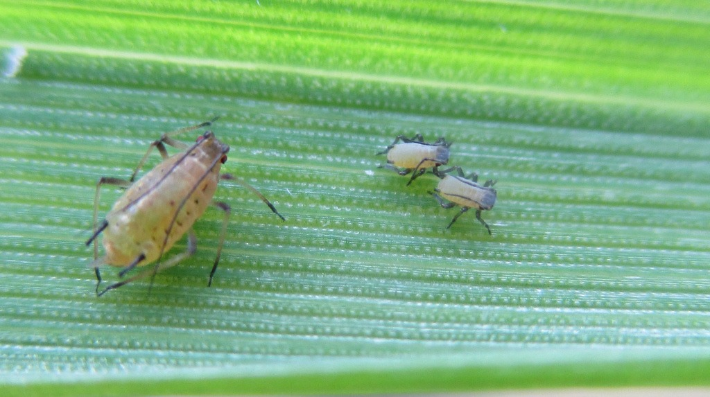 Grain Aphid at Oxford Innovation Centre