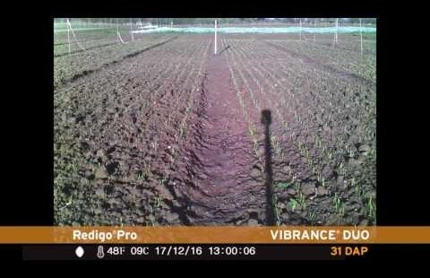 Speed of emergence with Vibrance Duo