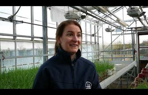 Find out how to identify different species of wild oats