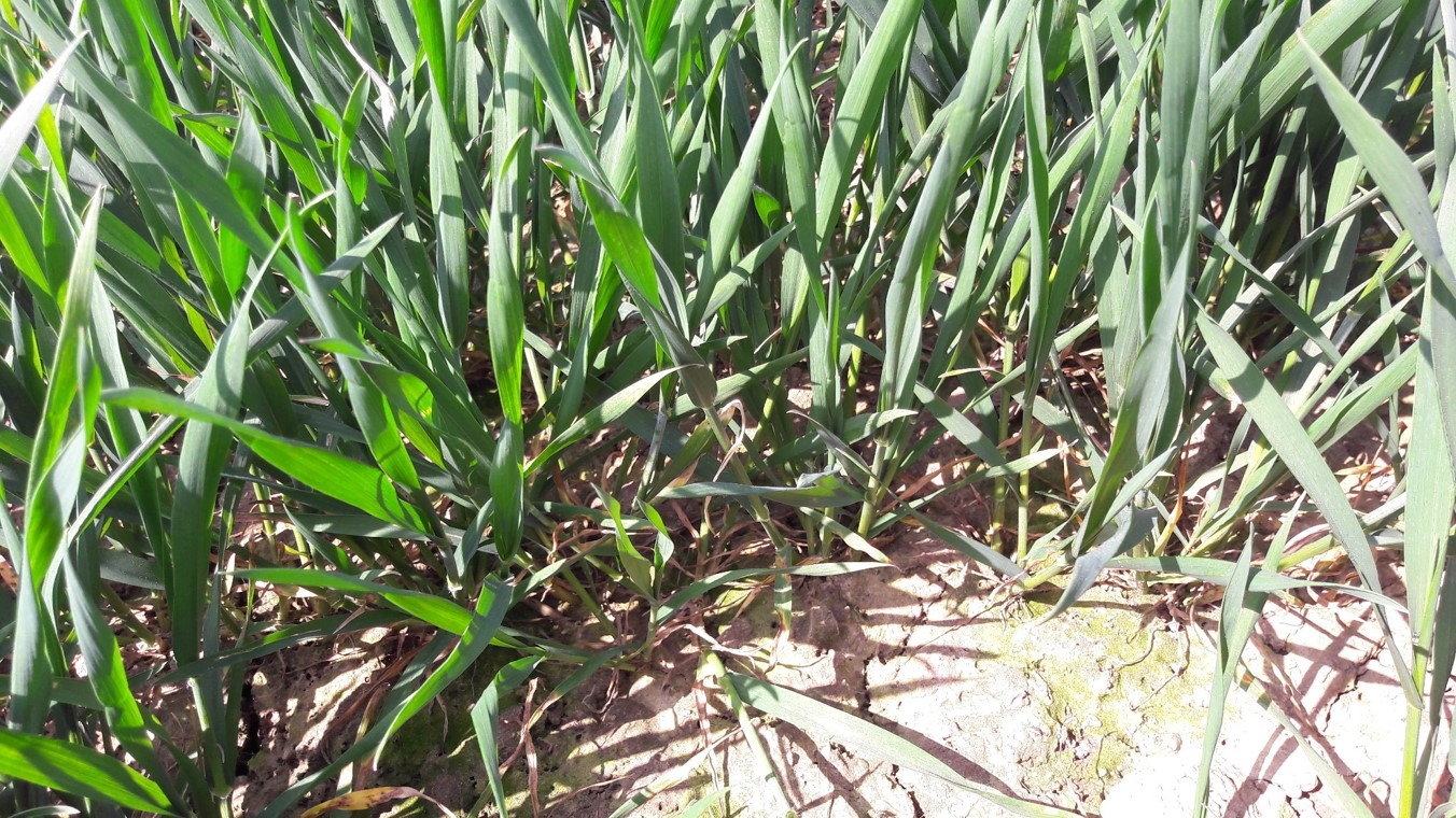 Septoria is visible on untreated, susceptible varieties